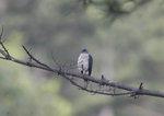한국의 새이야기 -  기장에 사는 붉은배새매