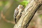 한국의 새이야기 -  목탁을 두드리는 쇠딱다구리