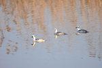 한국의 새이야기 -  주남저수지 찾은 흰비오리