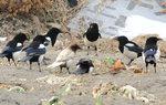 한국의 새이야기 -  길조 황색까치가 나타났어요