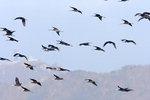한국의 새이야기 - 순천만 흑두루미 500여 마리 월동