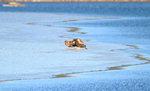 한국의 새이야기 -  반가운 겨울손님 `참수리`