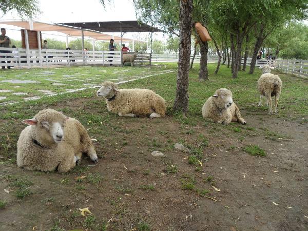 부산 삼락생태공원 가면 양떼목장이 있다