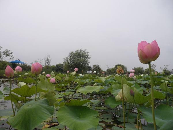 삼락생태공원 연꽃 활짝…아름다움에 방문객 탄성