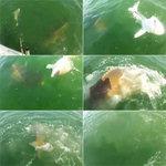 상어 먹는 물고기 '골리앗 그루퍼', 300kg 넘는 '대형어'…바다의 포식자