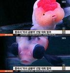 중국 미녀 금붕어 선발대회, 푸들 금붕어부터 팬더 닮은꼴까지…최고 170만원? '충격'
