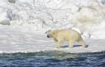 알래스카 북극곰의 비애…얼음 없어 수백킬로 헤엄쳐 건너
