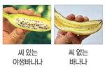 [박기철의 낱말로 푸는 인문생태학]<279> 파초실과 바나나 : 불길한 조짐