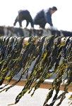 장경준의 新어부사시사 <19> 해초의 대표 : 미역 이야기