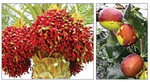 [박기철의 낱말로 푸는 인문생태학]<285> 대추야자와 사과대추 : 여물은 대추