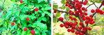 [박기철의 낱말로 푸는 인문생태학]<288> 딸기와 앵두: Berry & Cherry