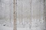 수천 개의 하얀 기둥, 겨울동화 속삭이듯…강원 인제 '자작나무숲'