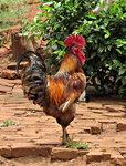 닭(鷄) 추론 능력은 7세 수준, 생각보다 똑똑하다?