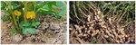 [박기철의 낱말로 푸는 인문생태학]<292> 땅콩과 견과;땅속에서 견두가 된 콩