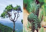 [박기철의 낱말로 푸는 인문생태학]<293> 솔과 잣 : evergreen pine?