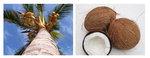 [박기철의 낱말로 푸는 인문생태학]<295> 코코넛과 코코스 ; 우유를 주는 견과