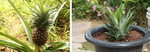[박기철의 낱말로 푸는 인문생태학]<299> 아나나스와 파인애플; 꽃들이 모인 열매