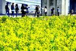 [포토에세이] 노랗게 꽃망울 터뜨린 유채꽃밭