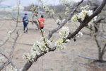 온동네 벚꽃천지 속 수줍은 자두꽃 향기