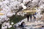 아직 벚꽃 구경 제대로 못했다면? 이번 주 속리산으로 GO!