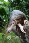 보르네오 섬 희귀동물 천산갑, 건강에 좋다는 미신 탓에 멸종 위기