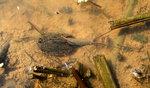 긴꼬리 투구새우 울산서 무더기 발견...중생대 모습 보존 '살아있는 화석'