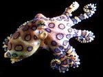 맹독성 파란고리문어, 거제 연안에서 첫 발견