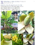 대구 바나나, 일반 가정집 바나나 열매 맺혀 '대프리카 위엄'