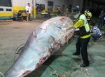 그물 걸린 밍크고래, 울산 앞바다서 발견