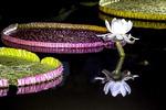 [포토에세이] 궁남지 밝힌 빅토리아 연꽃