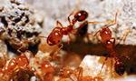 [톡 쏘는 과학] 외래종 '붉은불개미'로 피부병 치료