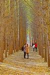 [포토에세이] 도리마을 은행나무 숲