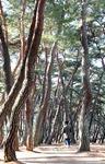 생명의 숲을 거닐다 <2> 경주 삼릉 소나무숲