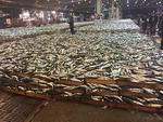 치어 남획 악순환…고등어가 기가 막혀
