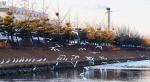 현대차 울산공장 사내하천에 때아닌 여름철새 백로떼