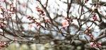 봄의 유혹에 얼굴 붉힌 매화 꽃망울 톡…톡…톡…