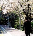 [포토에세이] 내년에 또 만나요, 벚꽃