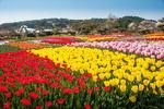 [포토에세이] 여긴 튤립 꽃대궐