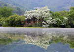 쌀밥 형상 '이밥나무'·입하에 개화 '입하목'…연못 한 가운데 정자선 '달의 연인' 속삭이듯