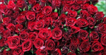 로즈데이…장미 꽃 색깔별 꽃말에 따라 장미를 선물해보세요