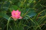 [포토에세이] 무더위 날리는 분홍 연꽃