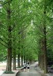 생명의 숲을 거닐다 <16> 진주와 경주 명품 메타세쿼이아