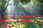 [WIDE SHOT] 꽃무릇, 붉디붉은 그리움