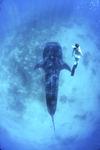 [WIDE SHOT] 가장 덩치 큰 물고기…겁먹지 마세요, 순둥이랍니다