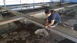 지지부진 토종 대하양식 다시 활기