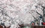 36만 그루 '벚꽃의 향연'…진해 군항제 전야제