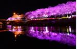 벚꽃과 조명의 조화…순창군 천변 벚꽃축제 4일 개막