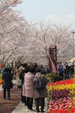 '낙동강30리 벚꽃축제' 성황리 폐막