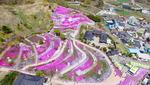 산청 국제조각공원에 진분홍빛 카펫 깔렸네
