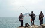 [조황] 삼천포 대포알 만한 갑오징어 '대박'